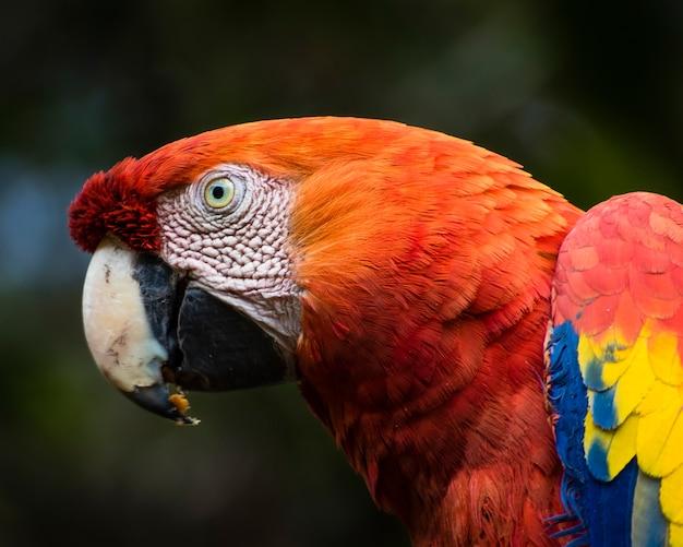 Ara macaw kopf