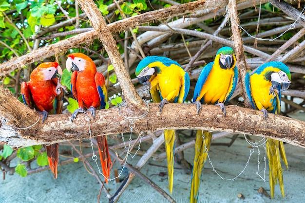 Ara papageien auf dem ast