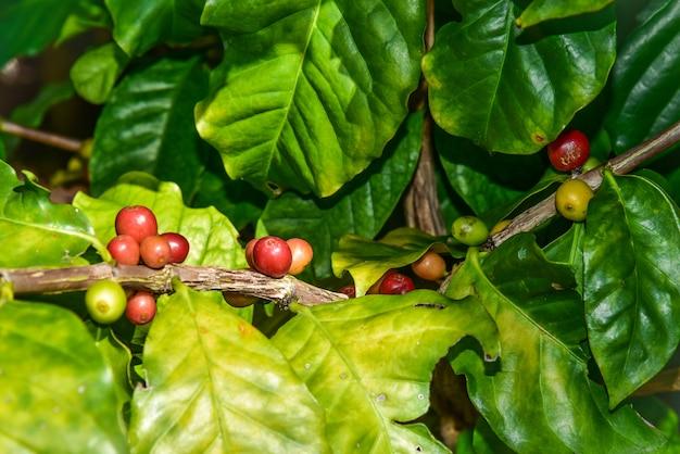 Arabica kaffeebaum