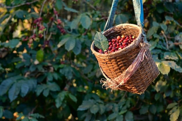 Arabica-kaffeebohnen reifen an der pflanze und ernten die produkte im kübel des bauern