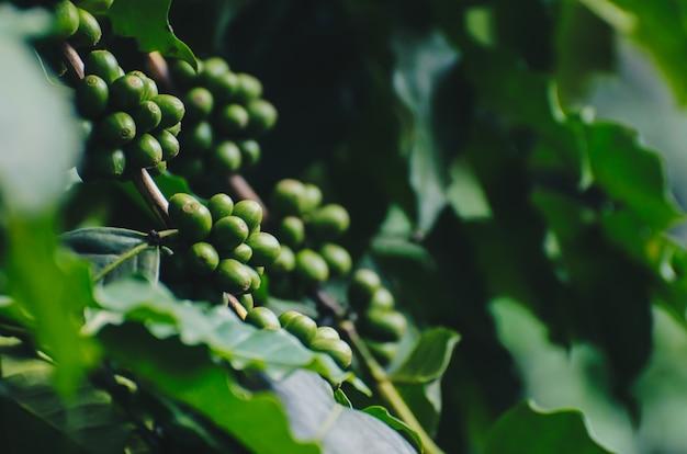 Arabica- und robustabaum in der kaffeeplantage.