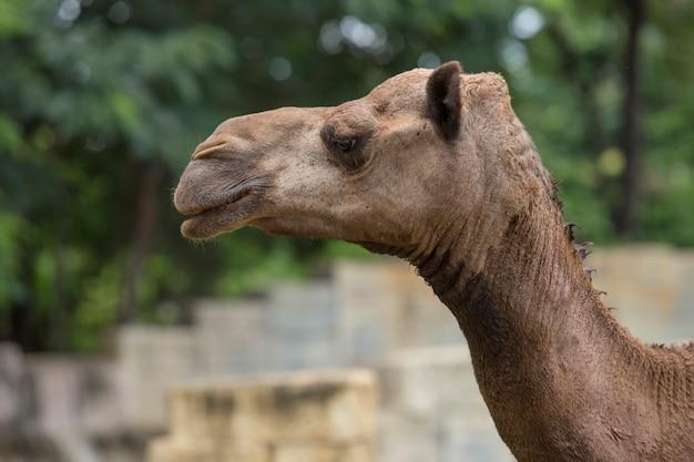 Arabischer kamel kopf nahaufnahme