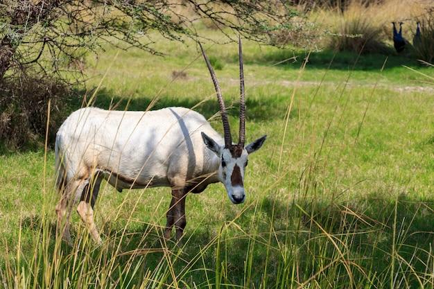 Arabischer oryx oder weißer oryx (oryx leucoryx) mittelgroße antilope mit langen, geraden hörnern und getuftetem schwanz. natürlicher lebensraum, vae.