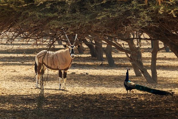 Arabischer oryx oder weißer oryx (oryx leucoryx) und pfau in der reserve
