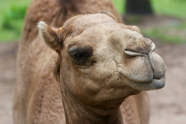 Arabisches kamel (camelus dromedarius)