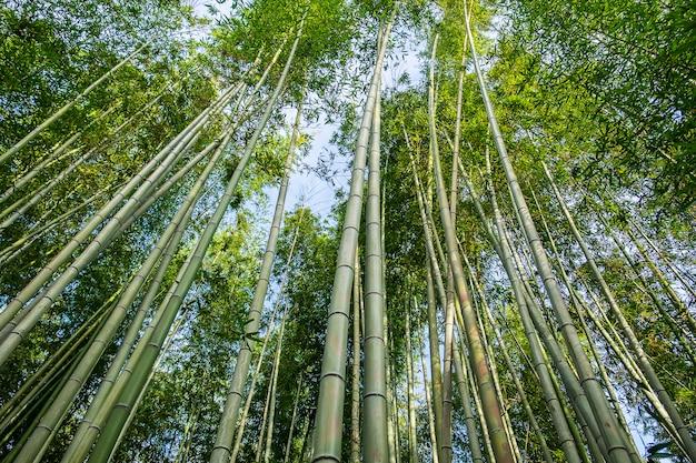 Arashiyama bamboo grove oder sagano bamboo forest ist ein natürlicher bambuswald in arashiyama, ein wahrzeichen und beliebt bei touristenattraktionen in kyoto. japan