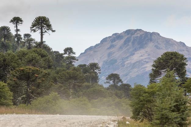 Araucaria araucana wald mit bergen im hintergrund, neuquen, patagonia argentina.