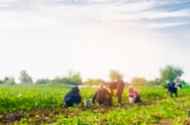 Arbeiter arbeiten auf dem feld, ernte, handarbeit, landwirtschaft, landwirtschaft und agro-industrie