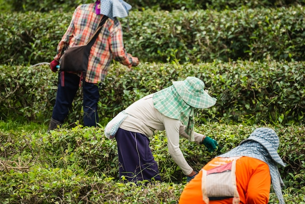 Arbeitskraftfrau, die grünes teeblatt am teebauernhof auswählt