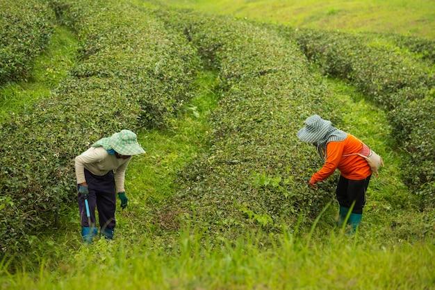 Arbeitskraftfrau, die grünes teeblatt an der teefarm auswählt