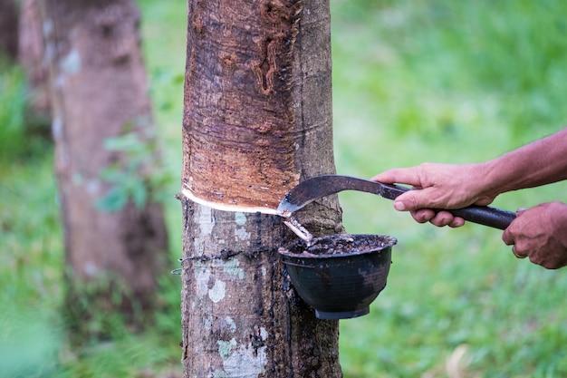 Arbeitskraftlandwirthände, die am frühen morgen latex von einem gummibaum mit messer klopfen.