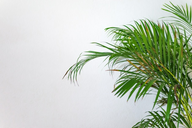 Areca palm, chrysalidocarpus lutescens in einem blassen weißen raum
