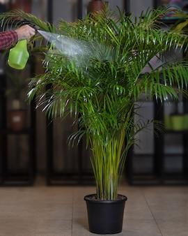 Areca palmen zimmerpflanze - bewässerung