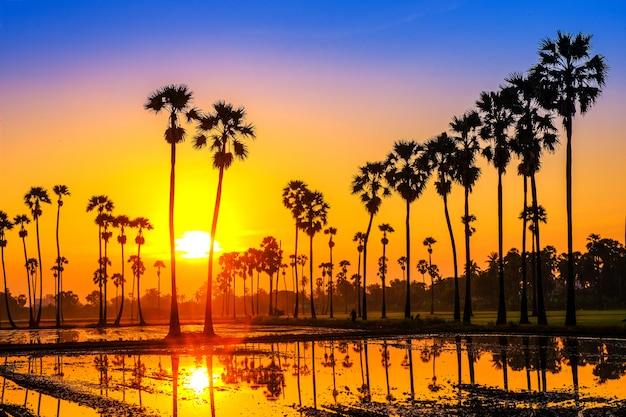 Arengapalmen auf dem reisfeld im sonnenaufgang