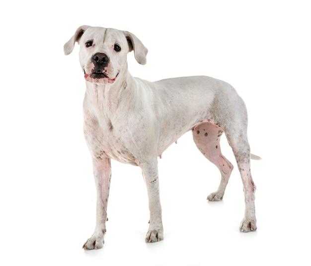 Argentinien-hund im studio