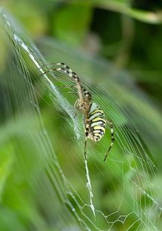 Argiope bruennichi sitzt im garten auf einer spinnennetz-tigerspinne mit roten und gelben streifen am bauch.