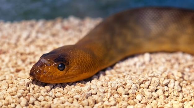 Argyrogena fasciolata oder banded racer schlange