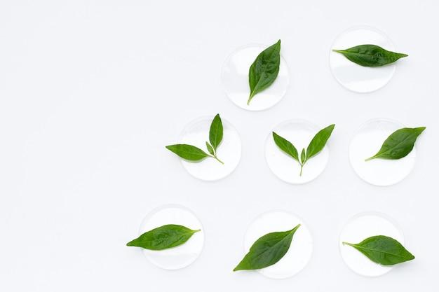Ariyat oder andrographis paniculata grüne blätter in petrischalen auf weiß