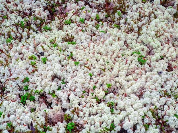 Arktischer weißer moosjagel im nördlichen wald.