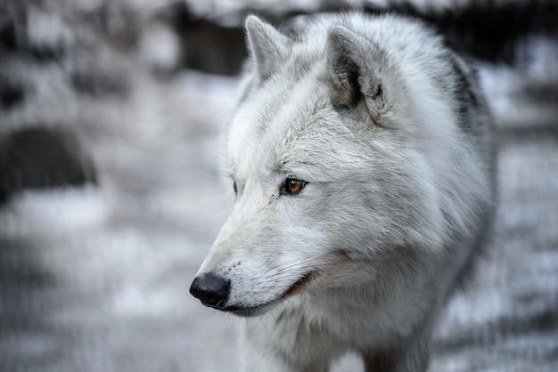 Arktischer wolf canis lupus arctos alias polar wolf oder weißer wolf - nahaufnahmeporträt dieses schönen raubtiers