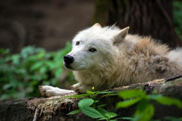 Arktischer wolf (canis lupus arctos) alias polar wolf
