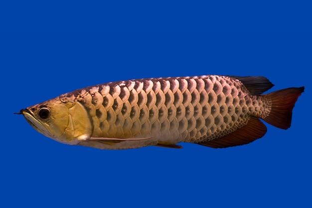 Arowana drachenfisch