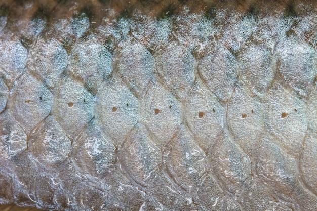 Arowana-skala