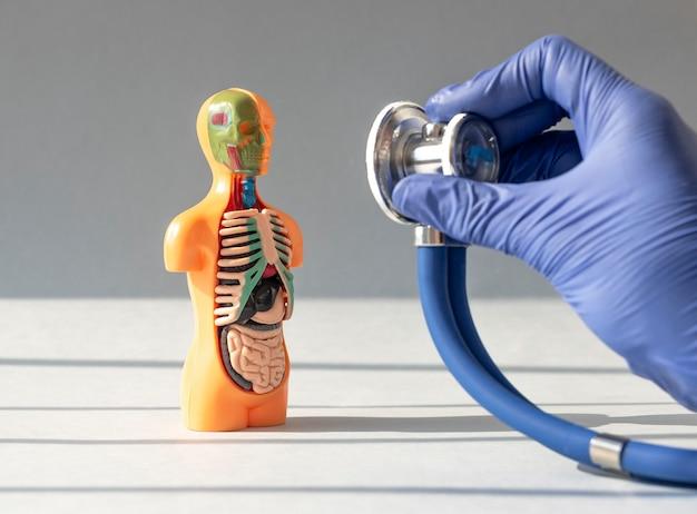Arzt hand nahaufnahme hören mit stethoskop d menschenmodell mit inneren organen im konzept der med...