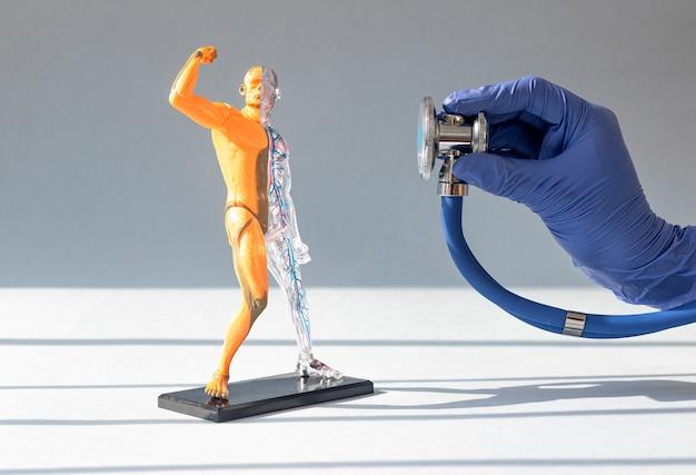 Arzthand hört auf hautloses menschliches körper-d-modell mit kreislauf- und muskelsystemanatomie...