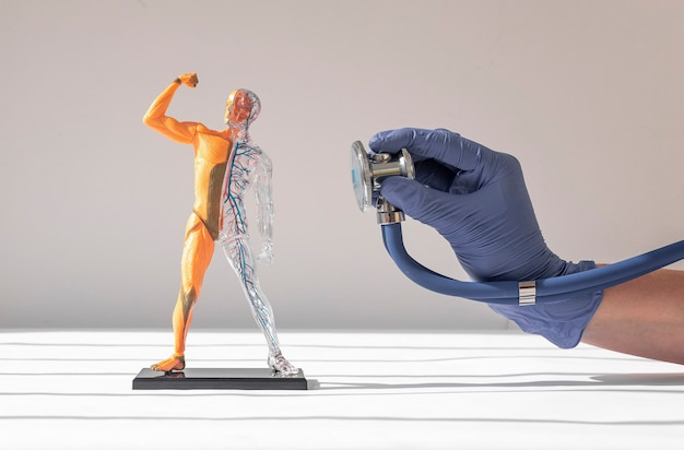 Arzthand im handschuh, der am menschlichen körper d-modell ohne haut mit kreislauf- und muskelsystem hält...