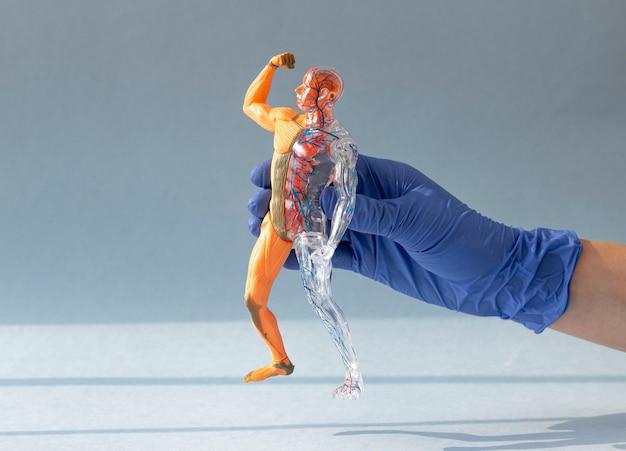 Arzthand im handschuh, der zum menschlichen körper d modell ohne haut mit kreislauf- und muskelsystem hält...