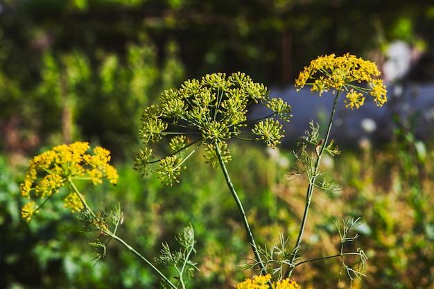 Asafetida-pflanzen in freier wildbahn. seitenansicht.
