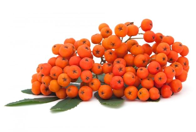 Ashberry haufen