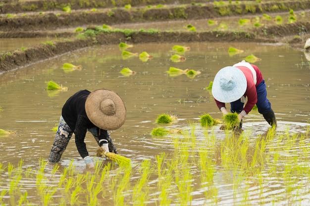 Asiatin auf dem reisfeld, landwirt, der reissprössling in thailand pflanzt