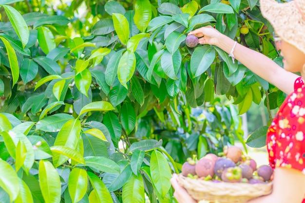 Asiatinlandwirt, der mangostanfrüchte im korb zeigt
