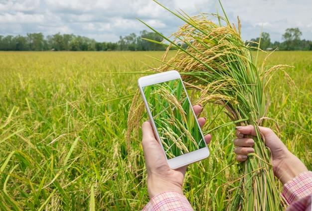 Asiatinlandwirt, der smartphone verwendet und ungeschälten reis in der landwirtschaft am goldenen reisfeld hält.