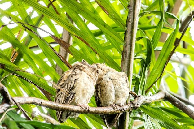 Asiatische abgehaltene junge eule (glaucidium cuculoides) auf baum in der natur
