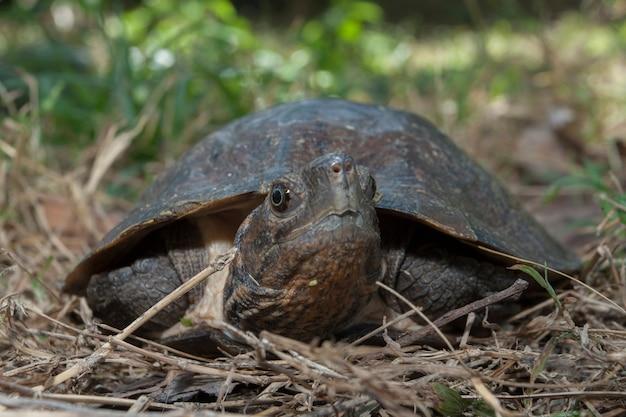 Asiatische blattschildkröte