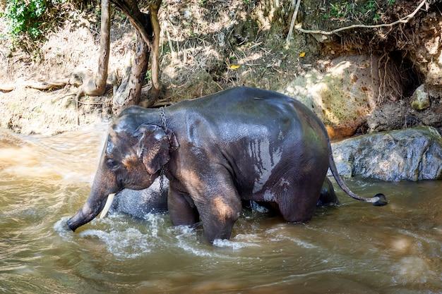 Asiatische elefanten, die ein bad im fluss am elefantenlager nehmen
