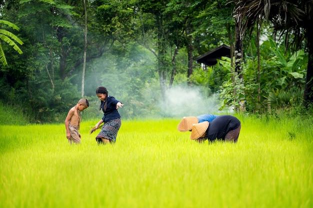 Asiatische familienlandwirttransplantations-reissämlinge auf dem reisgebiet, landwirt, der reis in der regenzeit, thailand pflanzt