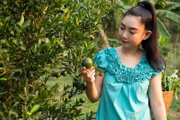 Asiatische frau des jungen gärtners, die thailändische honig-mandarinenorangen im garten lächelt und pflückt