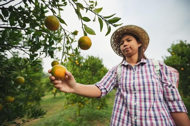Asiatische gärtnerin, die eine orange hält und qualität der orange im orangenfeldgarten in der morgenzeit prüft.