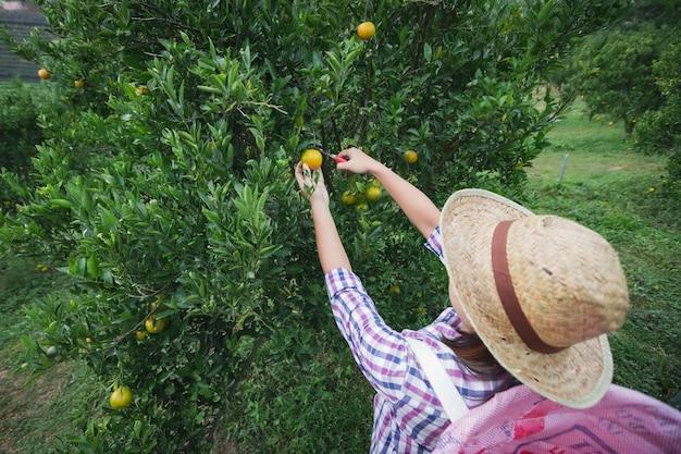 Asiatische gärtnerin mit dem korb auf dem rücken, der eine orange mit schere im orangenfeldgarten in der morgenzeit pflückt.