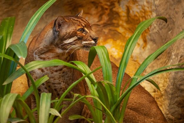 Asiatische goldene katze im zoo, thailand; spezies catopuma temminckii familie der felidae