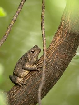 Asiatische kröte, schwarzstachelkröte, duttaphrynus melanostictus, der auf baum sitzt. vertikale.