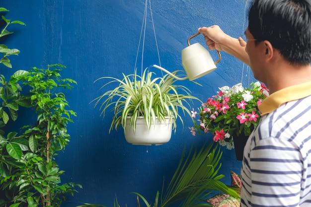 Asiatische mannbewässerungsanlage zu hause, geschäftsmann, der um chlorophytum comosum (spinnenanlage) im weißen hängenden topf sich kümmert