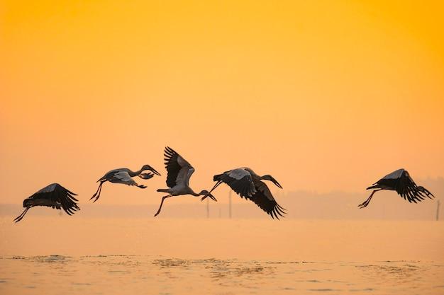 Asiatische openbill storchvögel, die auf den see bei sonnenuntergang fliegen