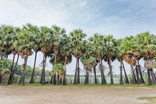 Asiatische palmyra-palme, landschaft mit zuckerpalmen