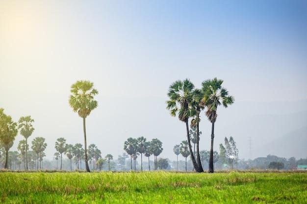 Asiatische palmyra-palme