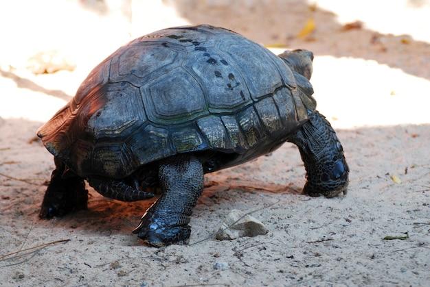 Asiatische riesenschildkröte oder manouria-emys-phayei, die auf den sand gehen